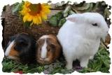 Kaninchen u. Meerschweinchen