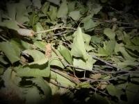 Birke mit Laub ab 250 g