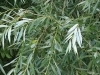 Weide mit Laub ab 100 g