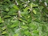 Weide mit Laub ab 250 g